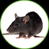 Уничтожение крыс в Москве и Московской области с гарантией